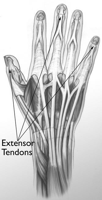 Extensor tendons