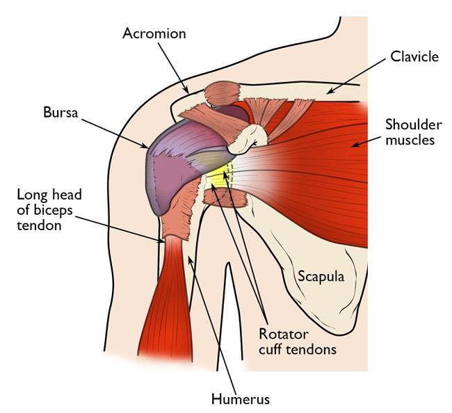 Shoulder Pain And Common Shoulder Problems Orthoinfo Aaos
