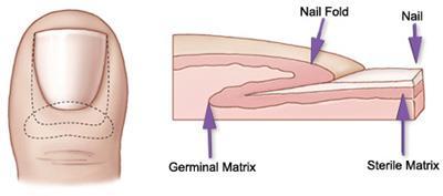 Toenail anatomy