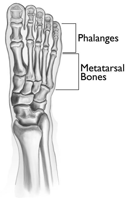 The bones of the forefoot.