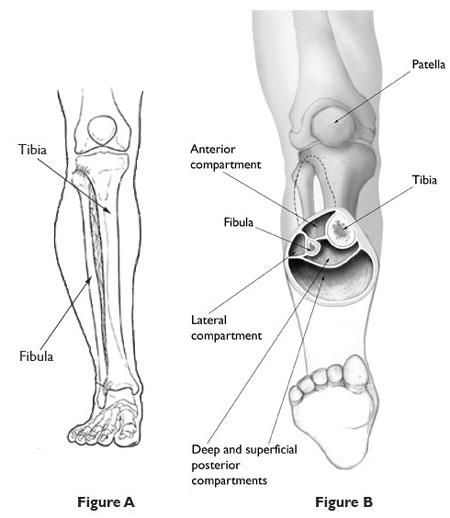 Major muscle compartments in lower leg