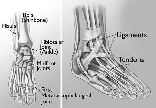 The joints of the ankle, midfoot, and big toe