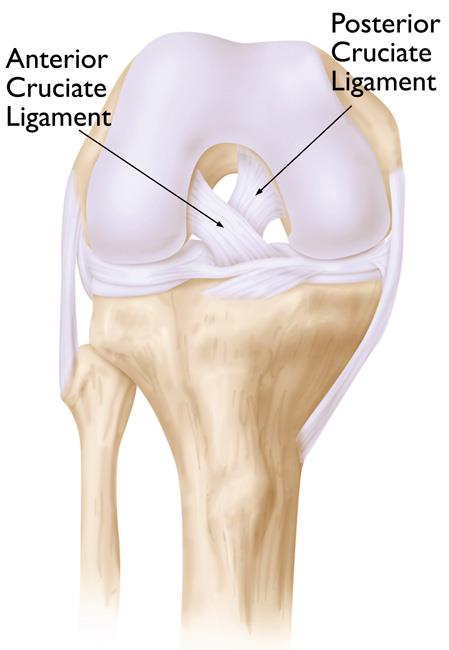 Normal knee anatomy, including the anterior cruciate and posterior cruciate ligaments