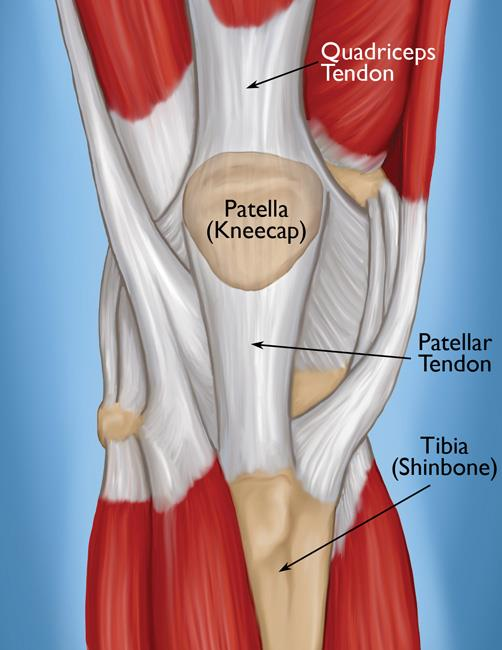 The knee and tendons