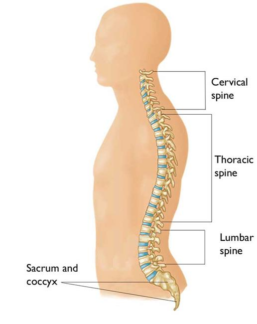 The regions of the spine