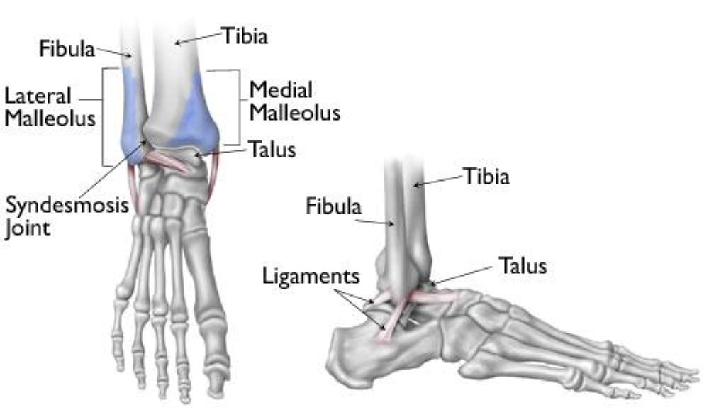 Ankle Fractures Broken Ankle Orthoinfo Aaos