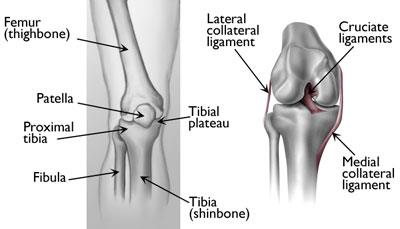 Illustration of knee anatomy, including the location of the proximal tibia