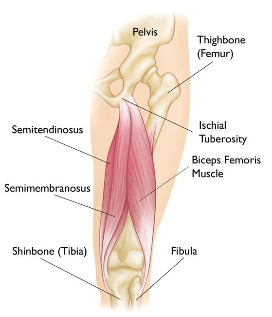 Hamstring Muscle Injuries - OrthoInfo - AAOS