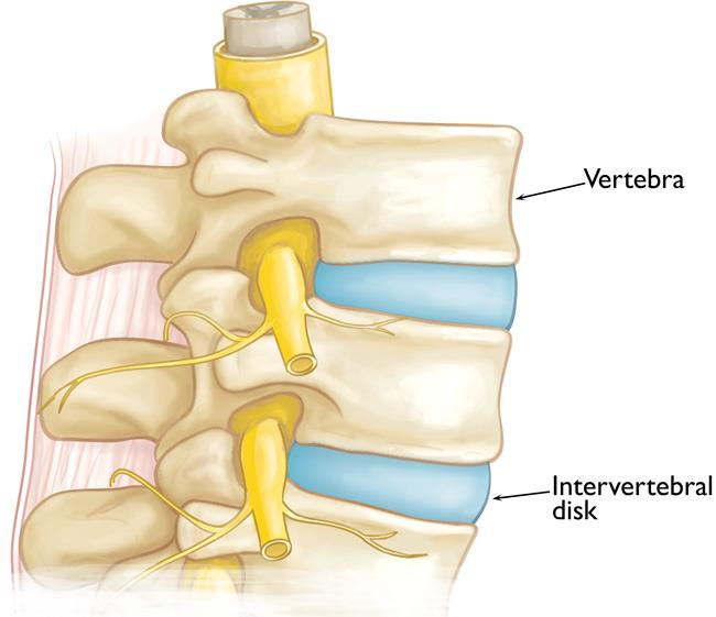 Vertebrae and intervertebral disks