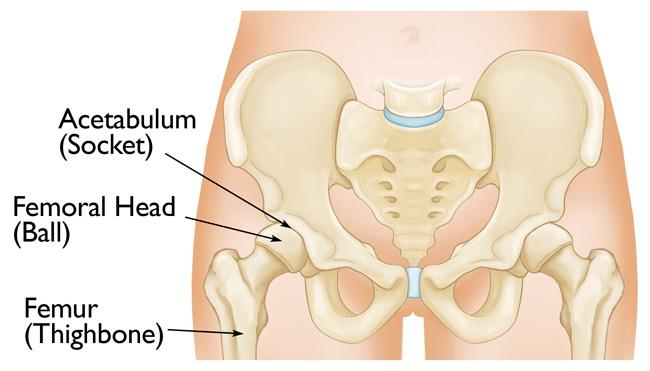 Normal hip anatomy