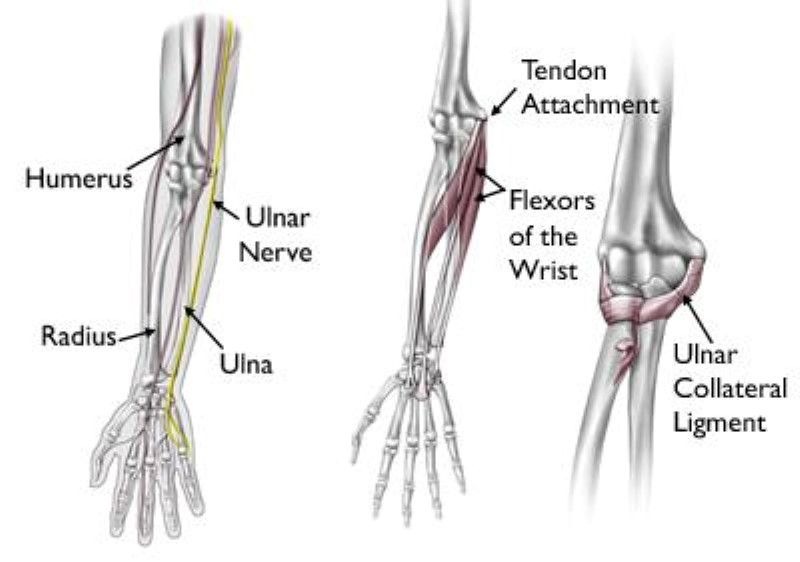 bones, tendons, ligaments of the elbow