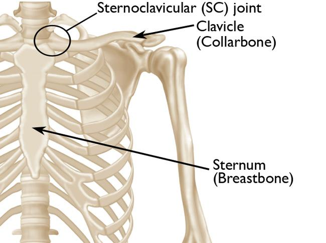 anatomy of sternoclavicular joint
