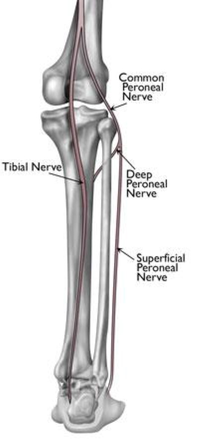nerves in the lower leg and foot