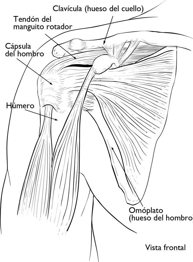 La cápsula del hombro rodea la articulación del hombro y los tendones del manguito rotador.